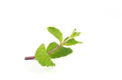 Fresh peppermint  leave. Fresh  peppermint leaves isolated on white background Stock Photos