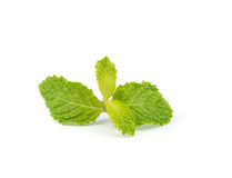 Fresh peppermint  leave. Fresh  peppermint leaves isolated on white background Royalty Free Stock Photos