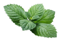 Fresh peppermint leaves (Mentha Piperita) Royalty Free Stock Photography