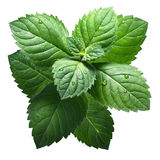 Fresh peppermint leaves (Mentha Piperita) Stock Image
