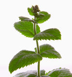 Fresh peppermint plant. Royalty Free Stock Photos
