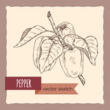 Fresh peppers on a branch hand drawn sketch. Great for farming and agricultural design Royalty Free Stock Photography