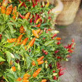Fresh Peppers. Pepper plants growing in pots in the garden with a vintage grunge texture. Great for a kitchen or restaurant stock illustration