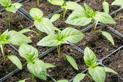 Fresh peppers seedling Stock Image