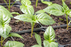 Fresh peppers seedling Royalty Free Stock Images