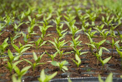 Fresh peppers seedlings. In a greenhouse Royalty Free Stock Photos