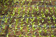 Fresh peppers seedlings. In a greenhouse Royalty Free Stock Image