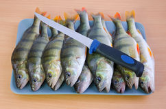 Fresh perch fishes ready for cleaning Stock Photography