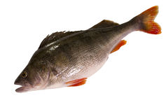 Fresh perch isolated on white background. Raw perch isolated on white background Stock Photo