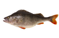 Fresh perch isolated on white background. Raw perch isolated on white background Royalty Free Stock Photo