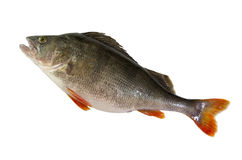 Fresh perch isolated on white background. Raw perch isolated on white background Stock Photography