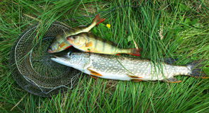 Fresh perch and pike on the grass Royalty Free Stock Image