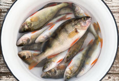 Fresh perch in a white basin on wooden stool Stock Photography