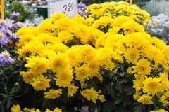 fresh perennial flowers sweet maries on a street market in autum Stock Image