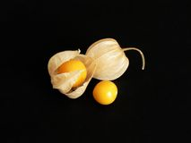 Fresh Physalis. A closeup of three Physalis fruits with their husks in various stages of opening up. Isolated on black Royalty Free Stock Photo