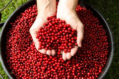 Fresh Picked Alaska Cranberries Royalty Free Stock Photography