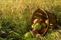 Fresh picked apples Stock Image