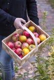 Fresh picked apples Royalty Free Stock Photo