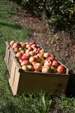 Fresh picked apples at an orchard in New England Stock Photography