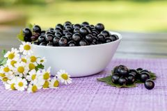 Fresh picked black currant berries and camomile flowers on a table outdoors in the garden, summer farm food, vitamins and harvest royalty free stock photo