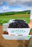 Fresh Picked Blackberries Royalty Free Stock Photo