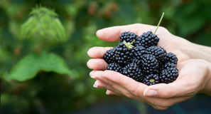 Fresh picked blackberries in a girls hands. With copyspace. stock image