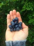 Freshly picked Blueberries royalty free stock image