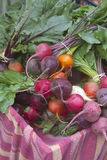 Fresh Picked Bunch of Organic Beets Royalty Free Stock Photography
