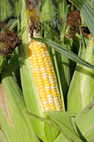 Fresh Picked Candy Sweet Corn at Farmer's Market Stock Images