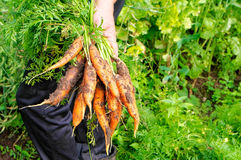 Fresh picked carrot Stock Photography