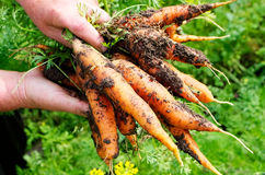 Fresh picked carrot. For salad and healthy life Royalty Free Stock Image