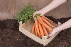 Fresh picked carrots Stock Photo