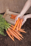 Fresh picked carrots Stock Photos