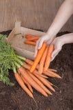 Fresh picked carrots stock photos