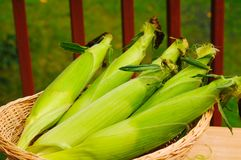 Fresh picked corn Royalty Free Stock Image