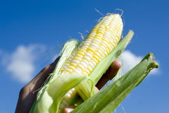 Fresh Picked Corn Stock Images