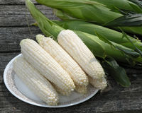 Fresh Picked Corn on the Cob. You can almost taste the sweetness of this fresh picked corn on the cob Stock Image