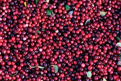 Fresh picked  Cranberry. Closeup of fresh picked Cranberry Stock Image