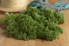 Fresh picked curly kale Royalty Free Stock Images