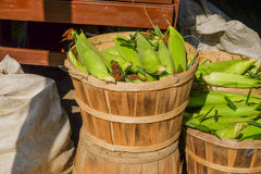 Fresh picked farm corn in a wooden basket at a local farm stand Stock Photography