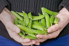 Fresh picked garden peas in pods, held in hands Royalty Free Stock Images