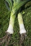 Fresh picked leeks. A pair of freshly picked leeks on grass Stock Photo