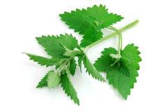 Fresh-picked melissa leaves Stock Image