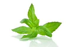 Fresh-picked mint leaves Royalty Free Stock Image