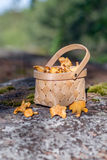 Fresh picked mushrooms in the basket. Royalty Free Stock Images