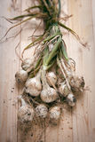 FRESH-PICKED ONIONS Royalty Free Stock Images