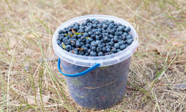 Fresh picked organic blueberries  in the bucket. Stands on the ground Stock Photography