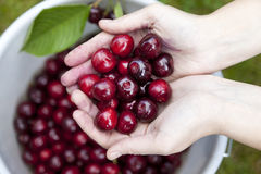fresh picked organic cherries Stock Images