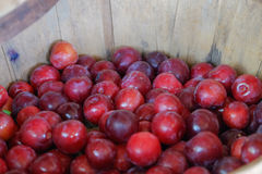 Fresh picked organic cherries in a wooden basket at a farm marke Stock Image