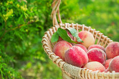 Fresh picked organic peaches in a basket outdoors in summer Stock Photos